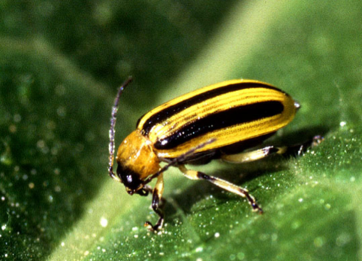 The striped cucumber beetle (Acalymma vittata) causes much more damage than other types of cucumber beetle.