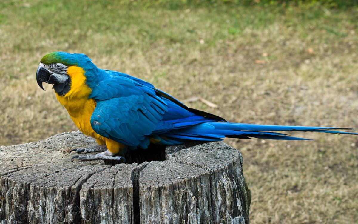 A Blue-and-yellow Macaw (also known as the Blue-and-gold Macaw) at Los Angeles Zoo, California, USA. What would you name this bird? Maybe Scallywag?