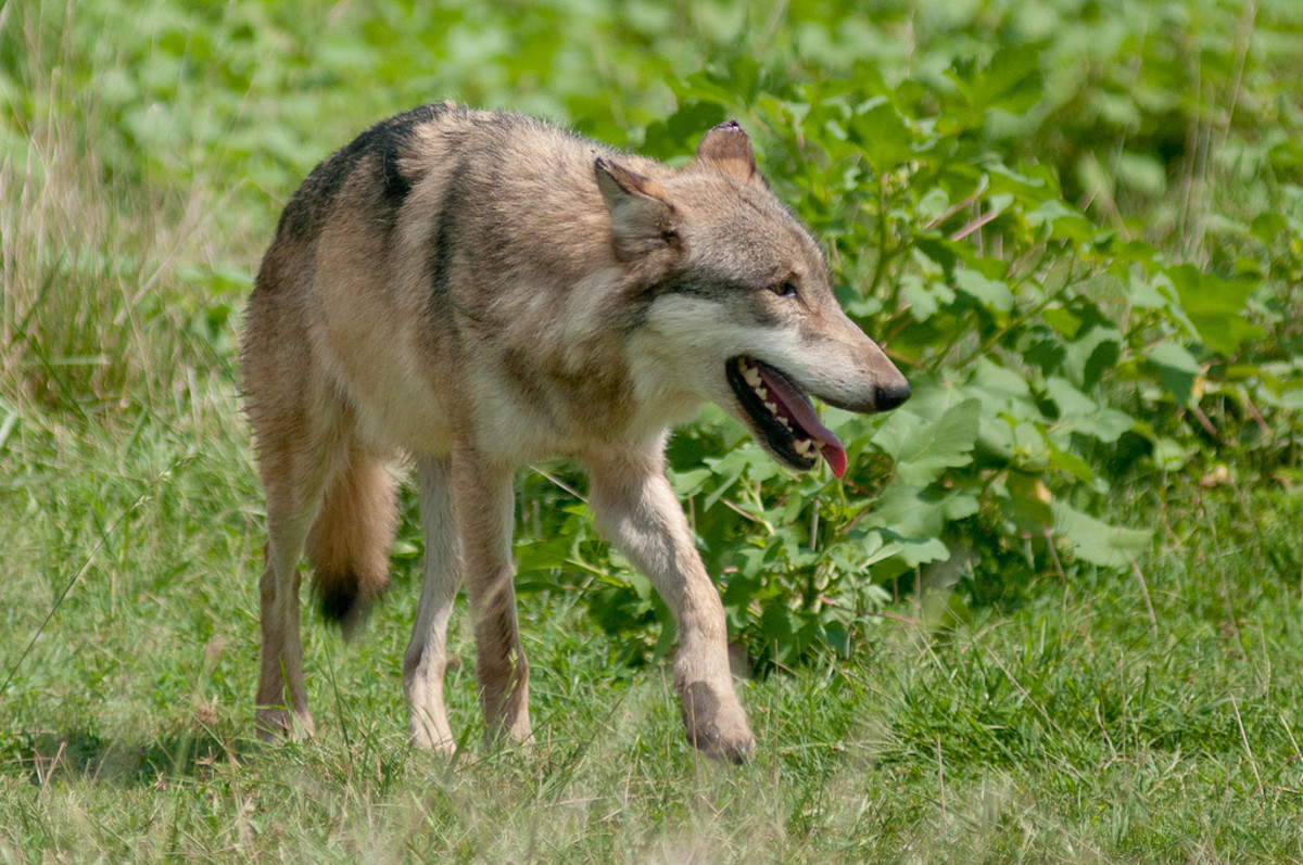 Tips on Surviving a Wolf Attack