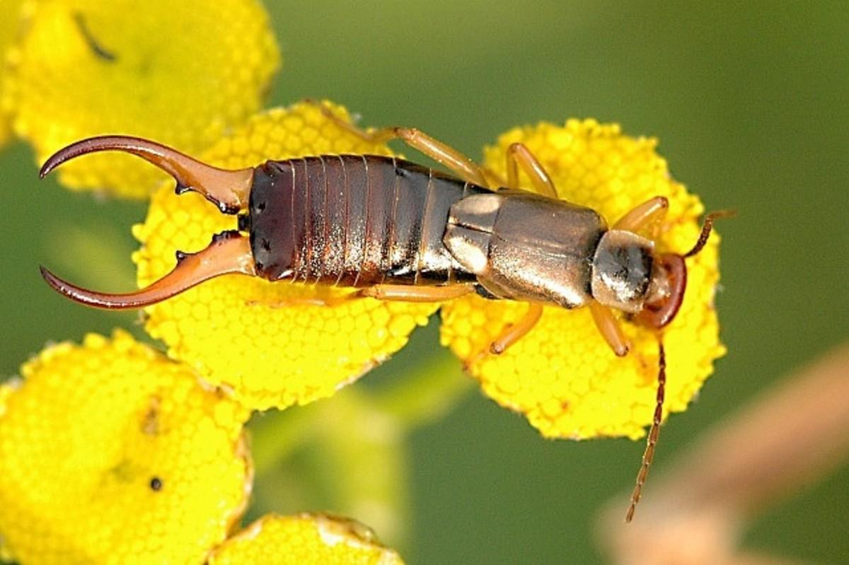 A male common or European earwig