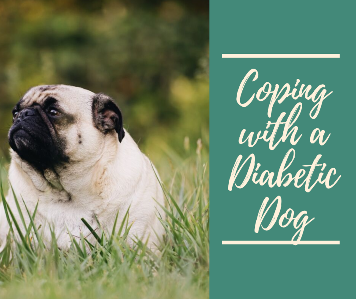 Read on to learn how to cope with a diabetic dog.