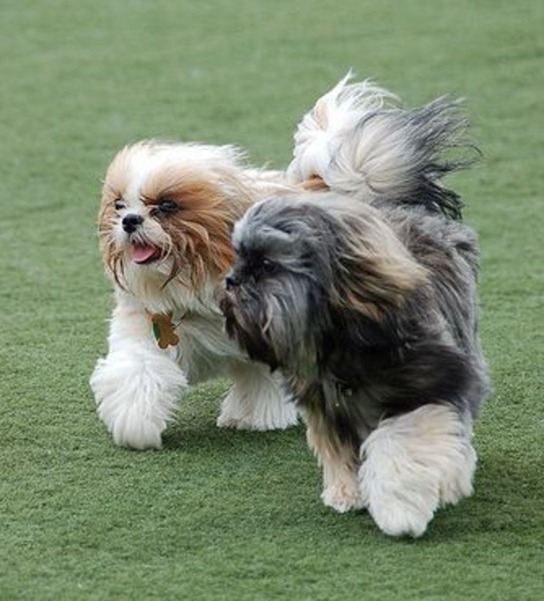 Since Shih Tzu do not shed much, they have long hair and look good when brushed daily.