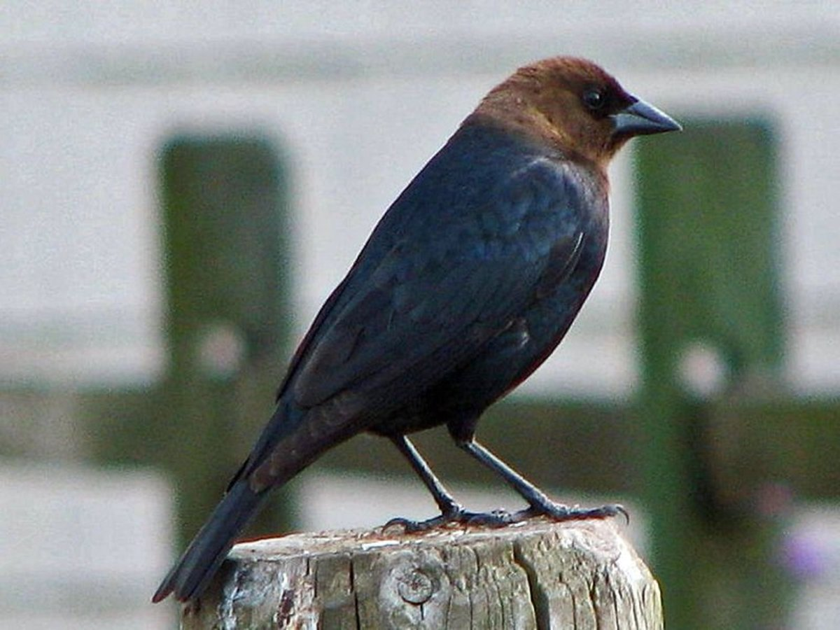 This is a Brown Headed Cow Bird, a small black bird with a brown head.