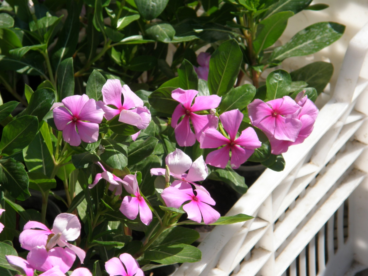 Sadabahar, Periwinkle Plant Or Vinca Rosea - Health Benefits and Uses