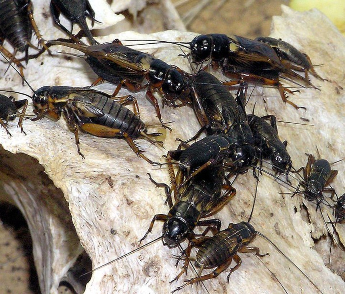 How to Get Rid of Crickets Inside Your House