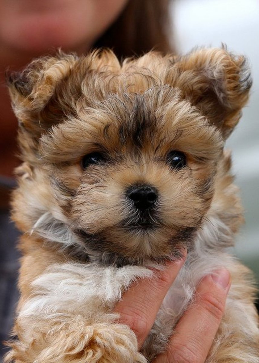 Designer dogs like this Morkie deserve designer names.