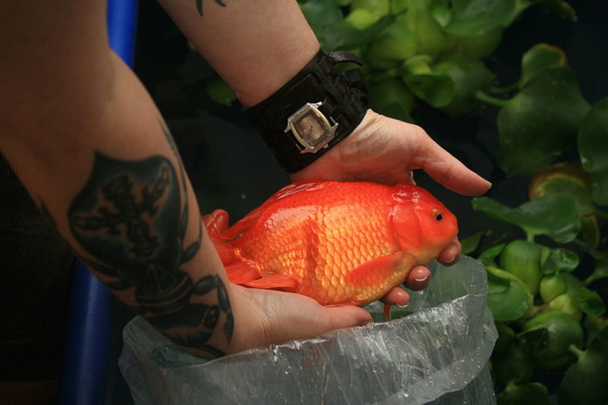 Huge goldfish are not found naturally in steams, lakes or rivers. When they are found there, they are considered to be an invasive species.