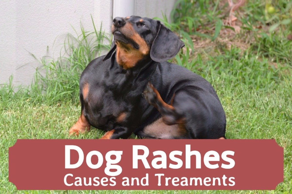 Dog Skin Rashes: Symptoms, Causes, and Cures