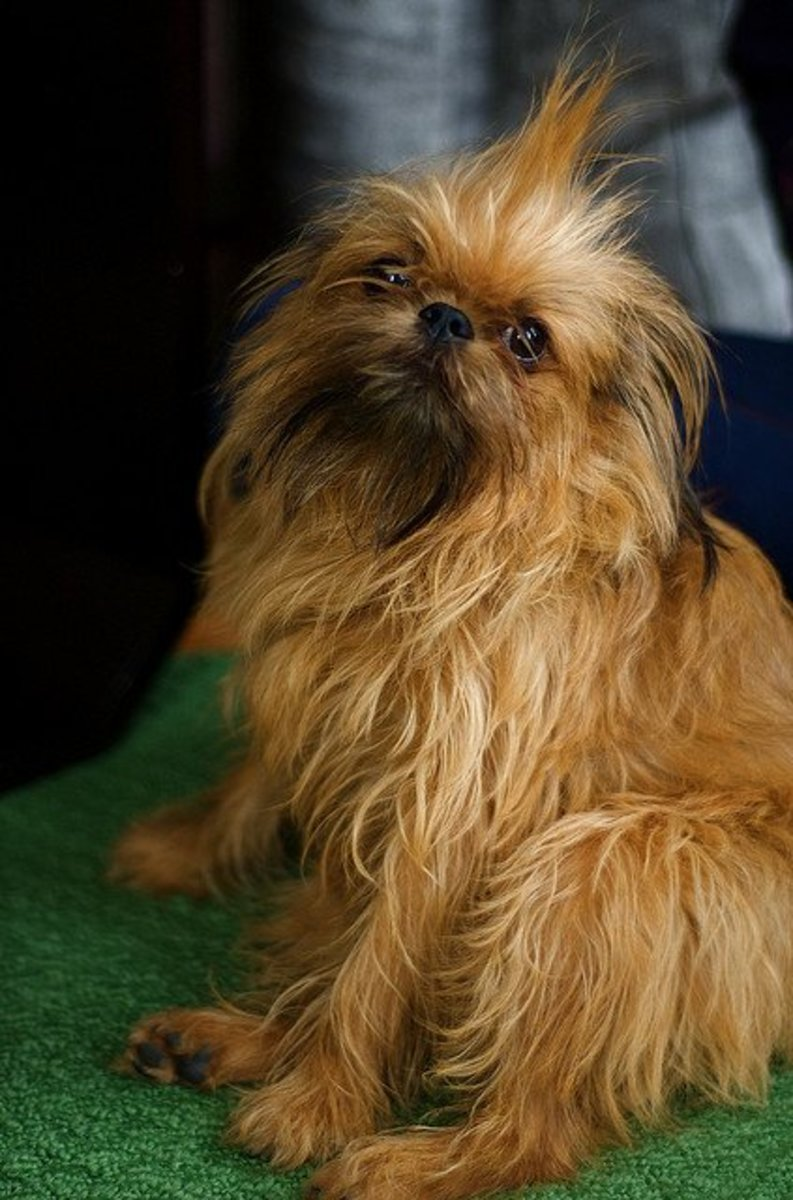 What, me worry? No Alfred E. Neuman is not a dog, not even a Brussels Griffon.