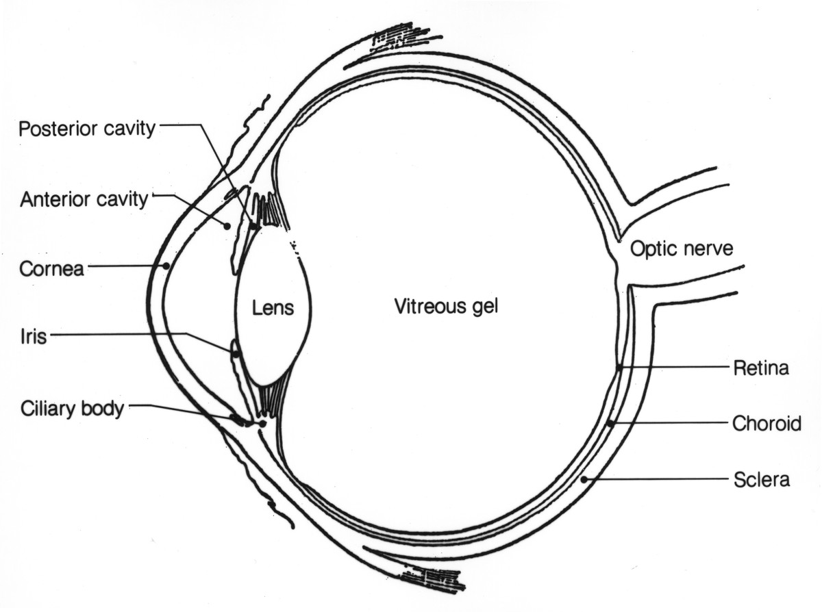 anatomy of the eye  human eye anatomy