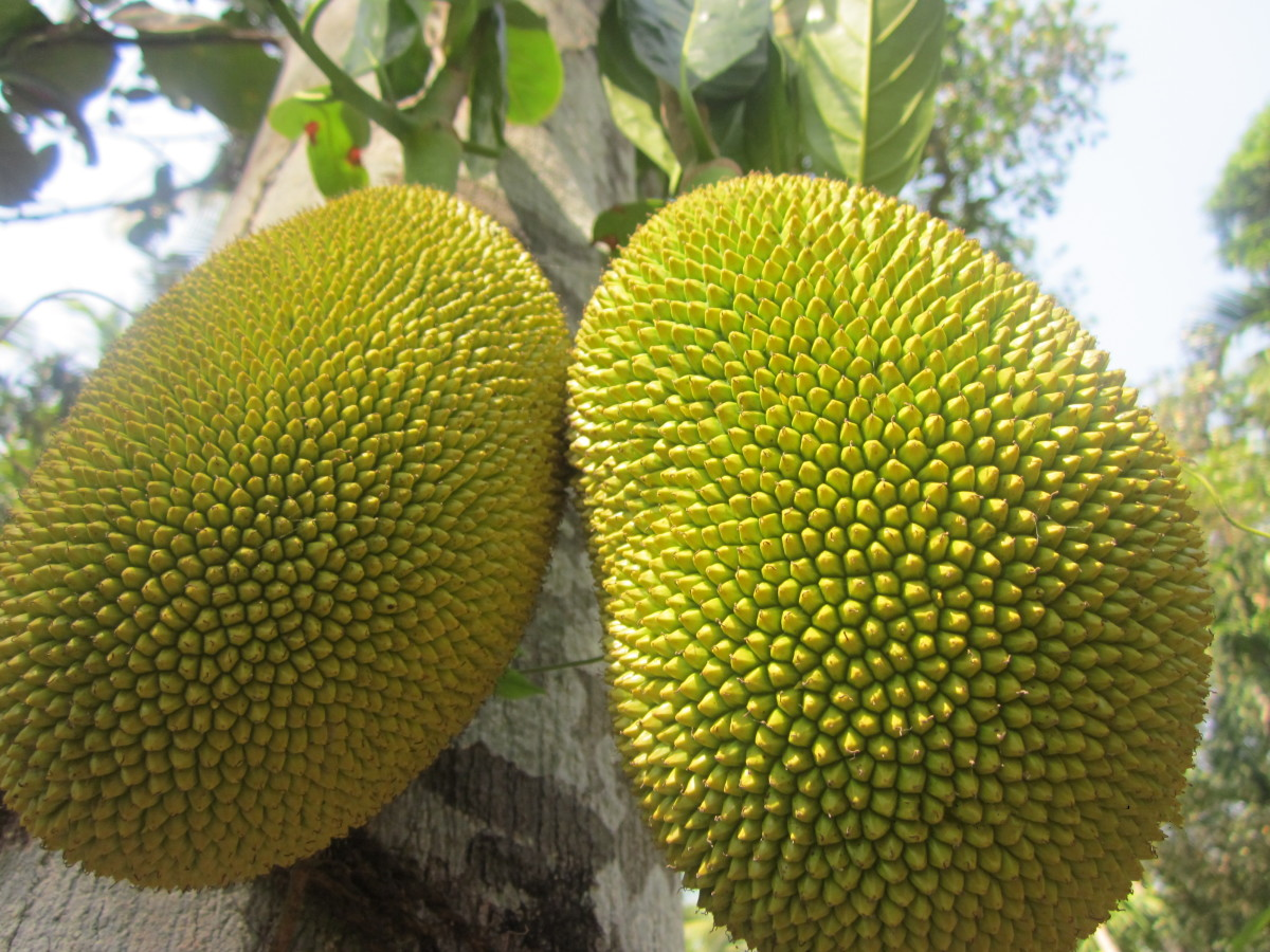 Health and Nutritional Benefits of Jackfruit