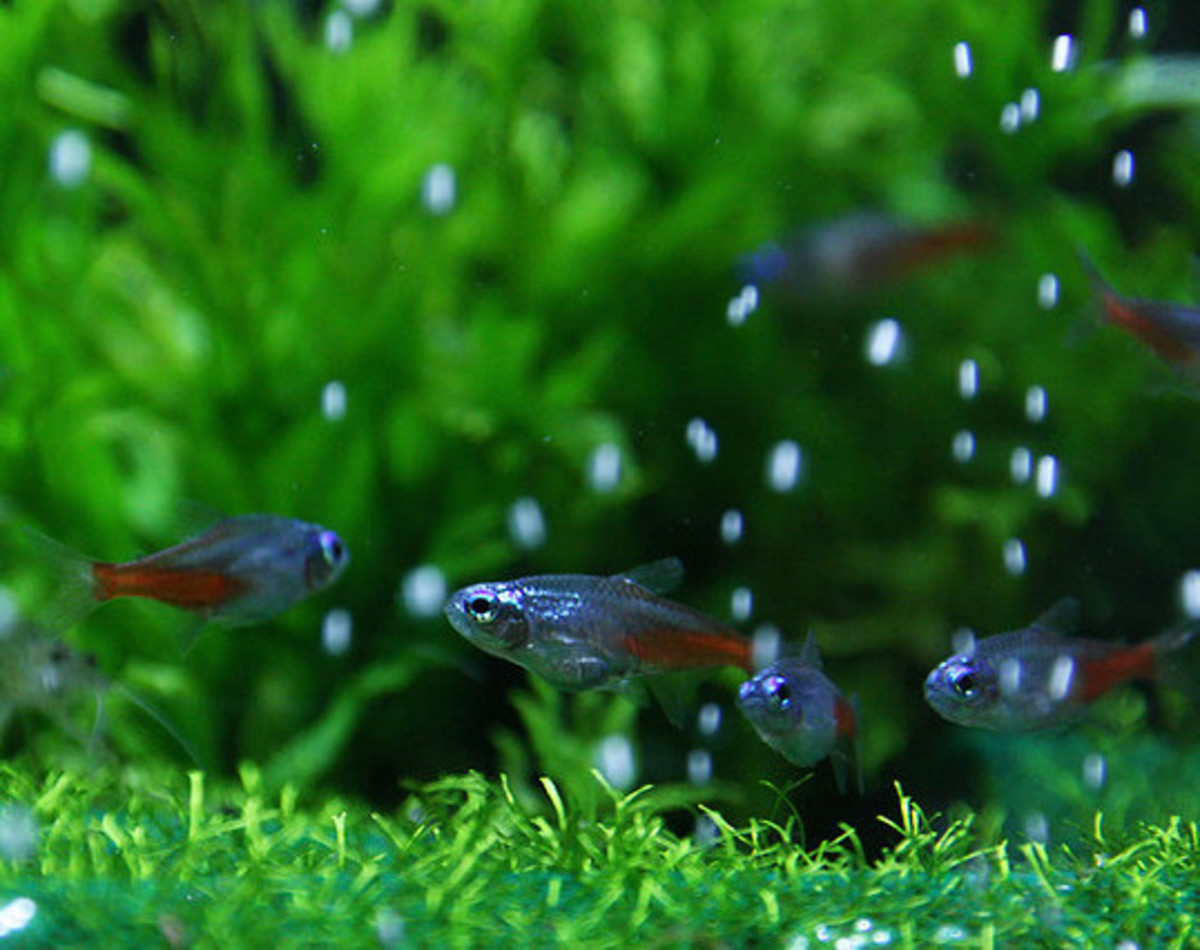 A healthy tank with Neon Tetras.  Note the oxygen being produced by the healthy plants in the tank.