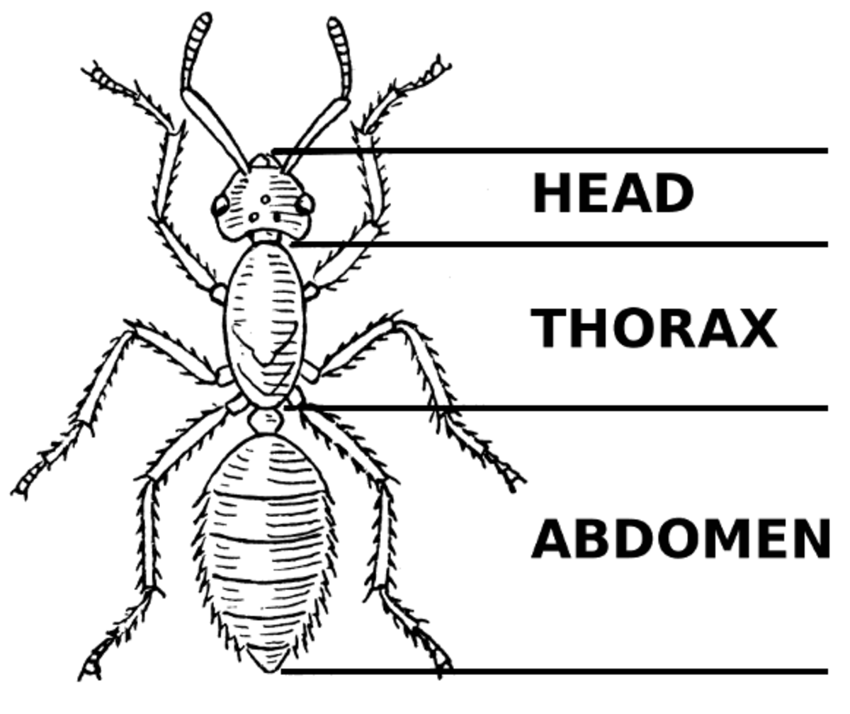 The body parts of an ant