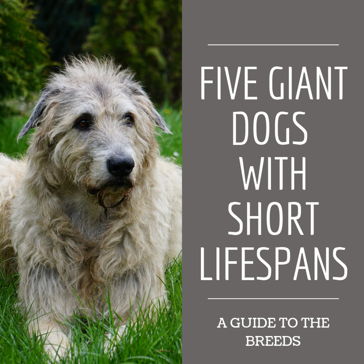 Five Giant Dog Breeds With Short Lifespans