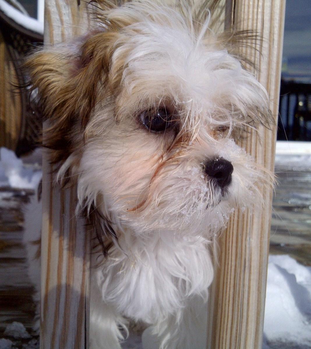 Malshi: Cross of Maltese and Shih-Tzu Dog Breeds