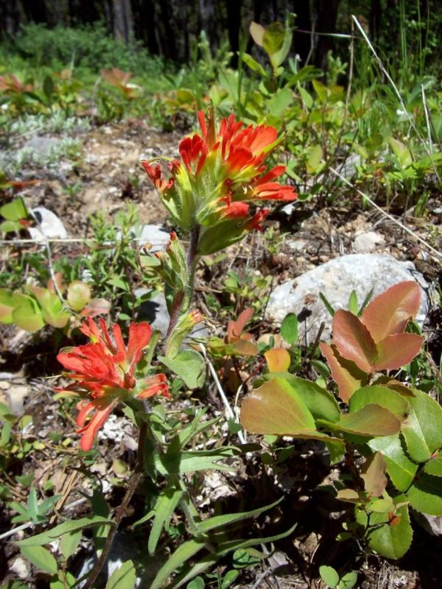 Indian Paintbrush—Facts, Legend & Lore