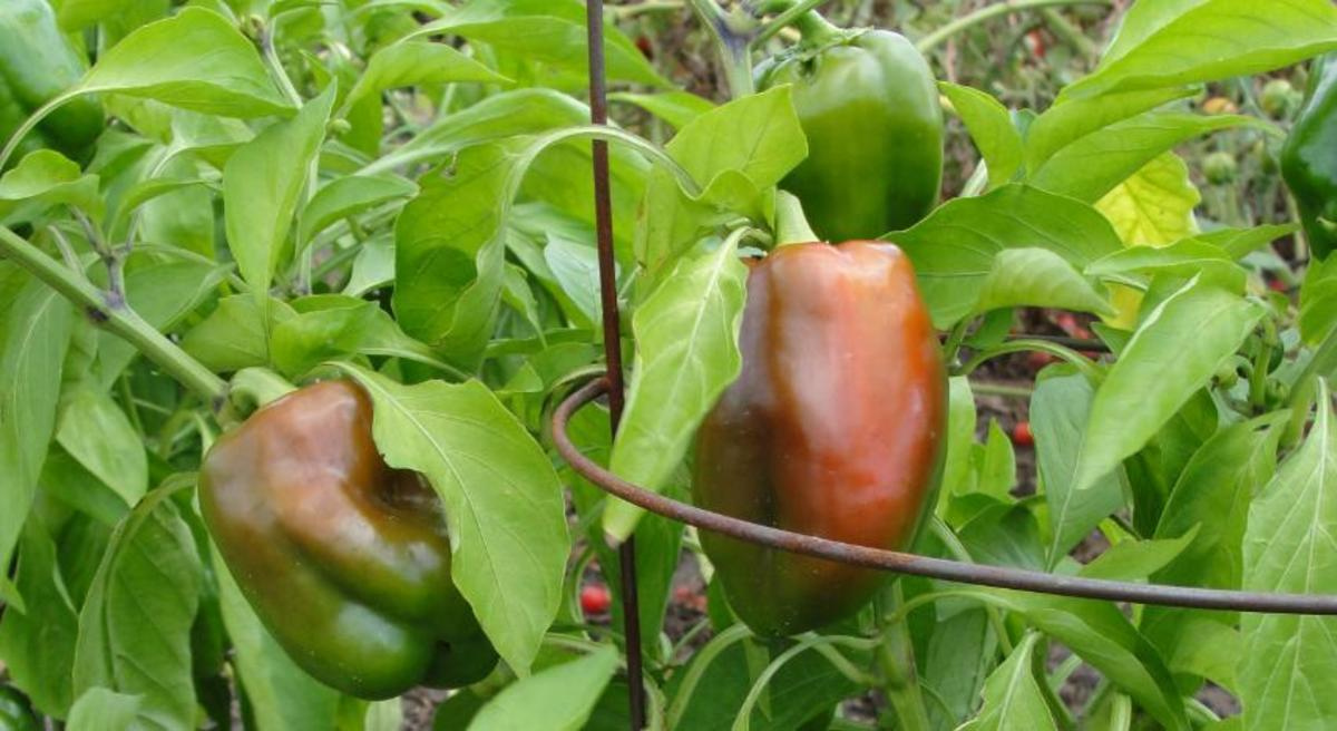 These peppers are not crowded and are turning nicely from green to red.