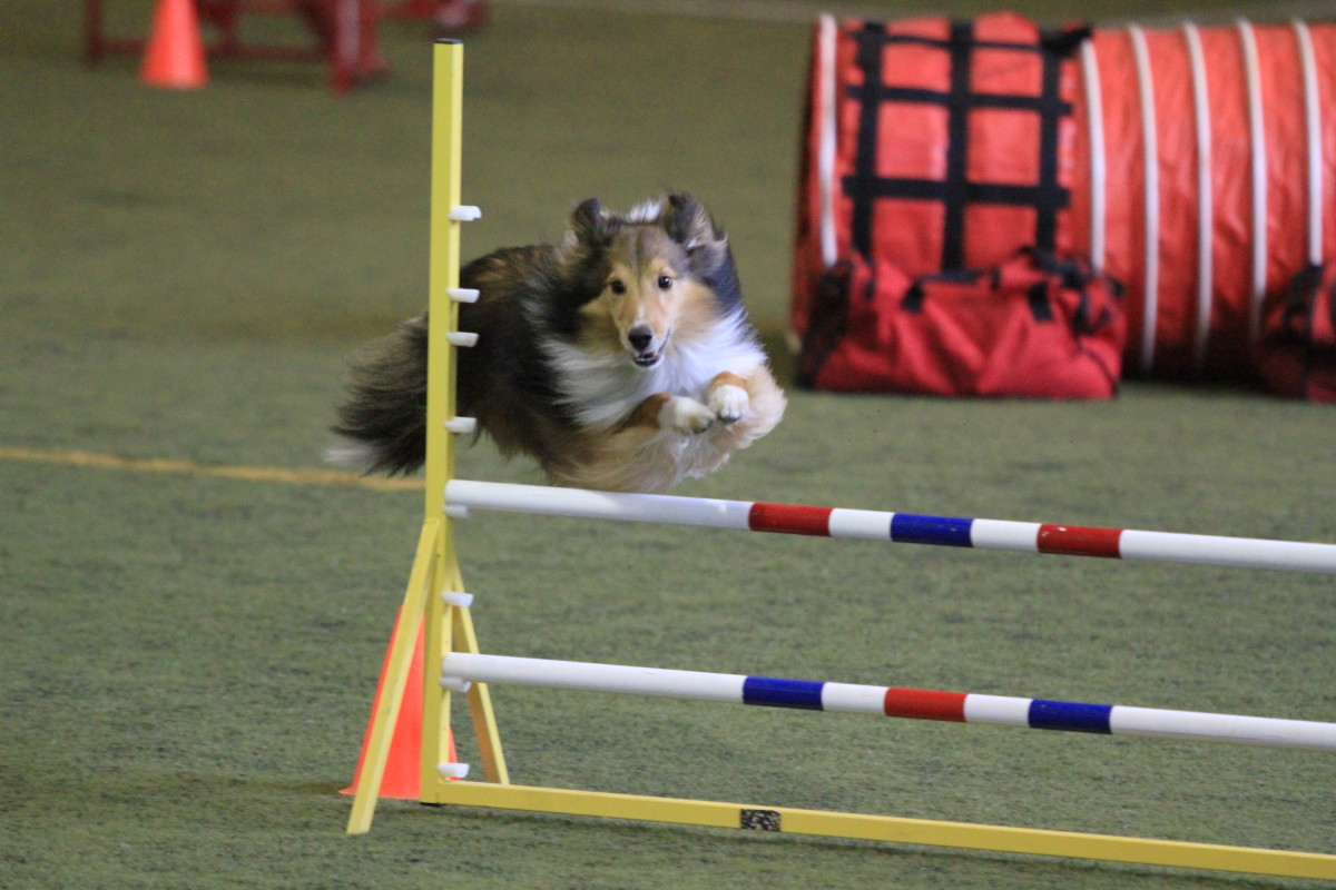 Author's sheltie Asher, who is attending Nationals for the third time this year.