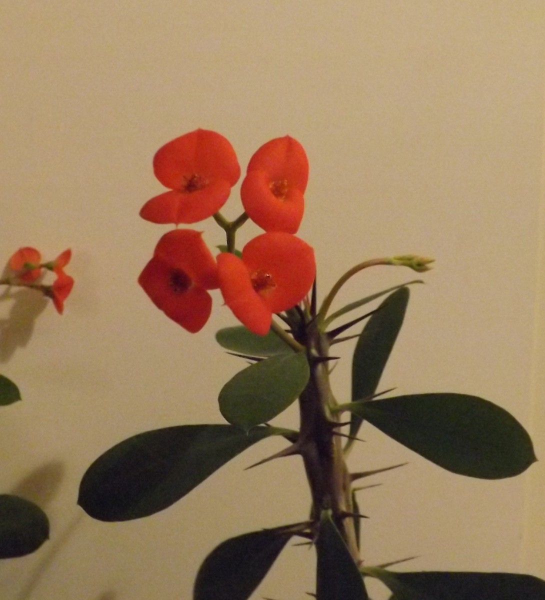 Crown of Thorns - An Interesting  Houseplant