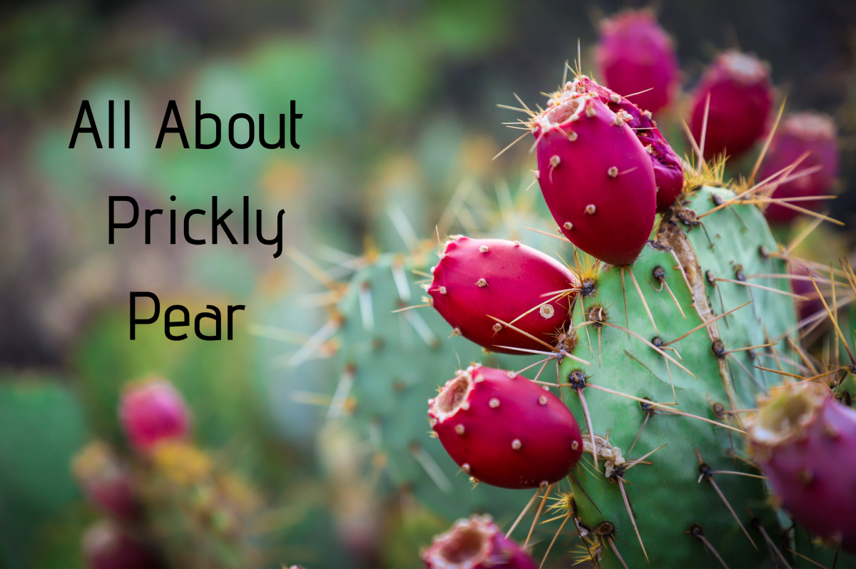 The prickly pear is both edible and nutritious