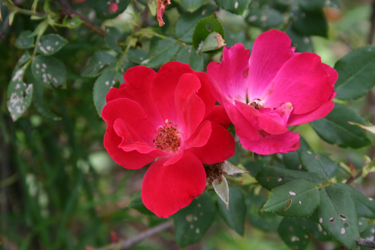 Knockout Roses are wildly popular among plenty of gardeners, but I can't stand them. Here's why.