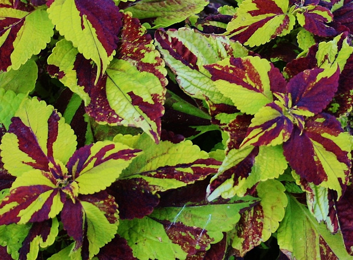 How to Grow Coleus From Stem Cuttings