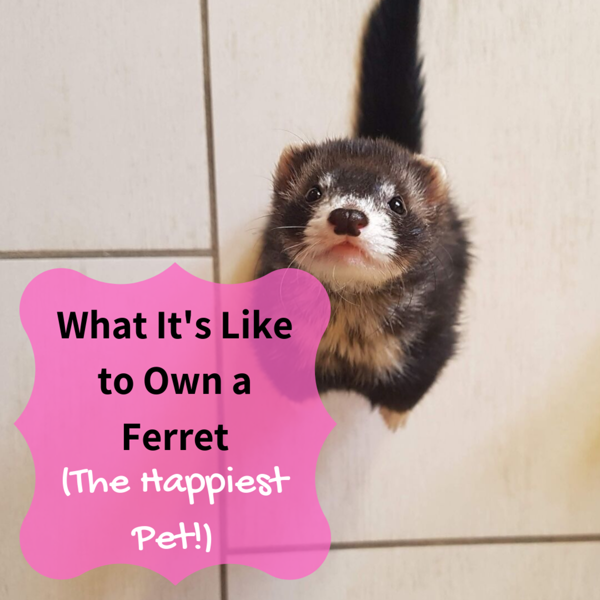 Meet the happy, exuberant ferret: a wonderful pet.