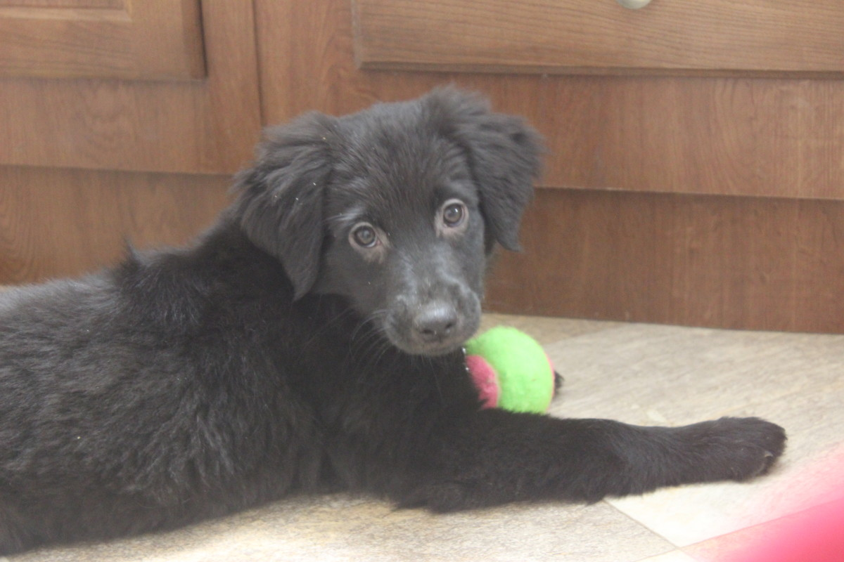 Luna: my Labrador Retriever puppy