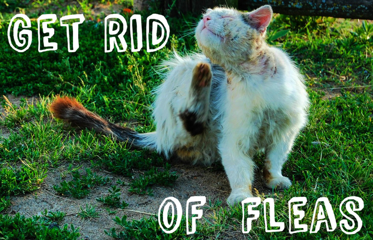How to get rid of fleas on humans and cats head