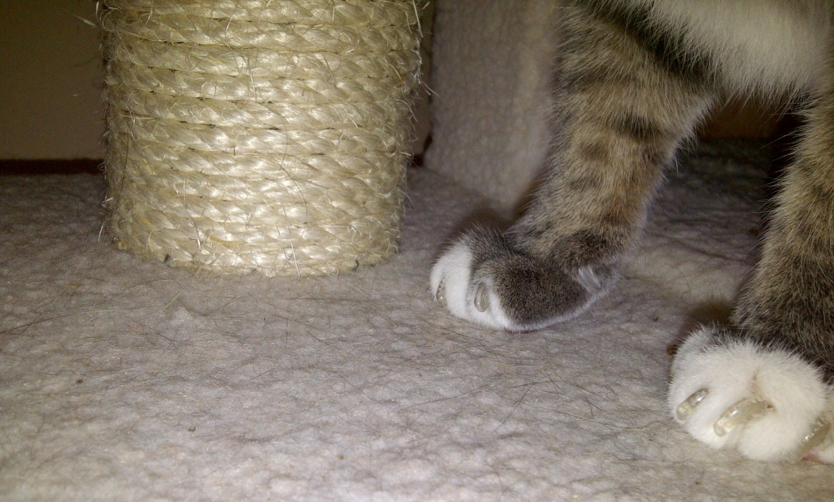 Cat Claw Caps:  Are Cat Nail Caps a Good Alternative to Declawing?