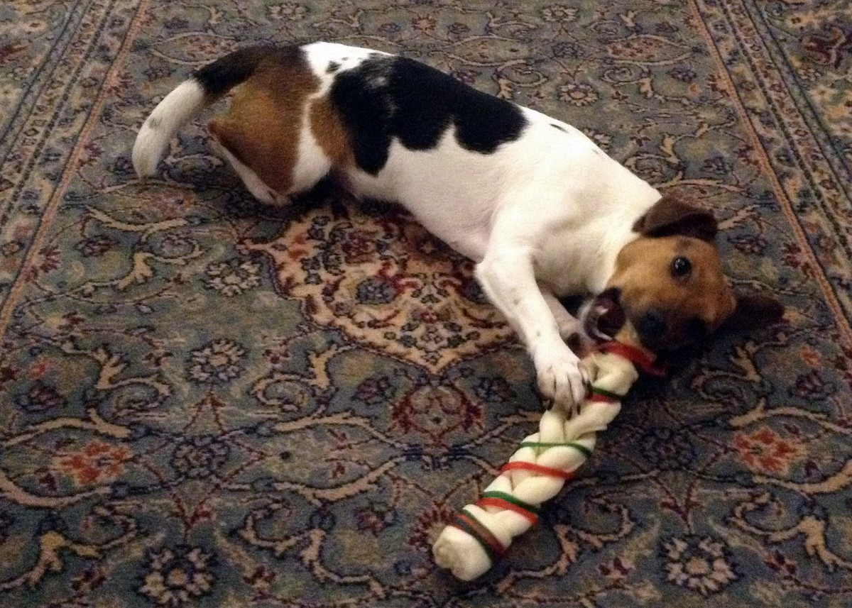 Dogs love rawhide chews and my own dog Ellie, with her Christmas chew, is no exception - but you do need to take care if you are going to feed your dog these chews safely.