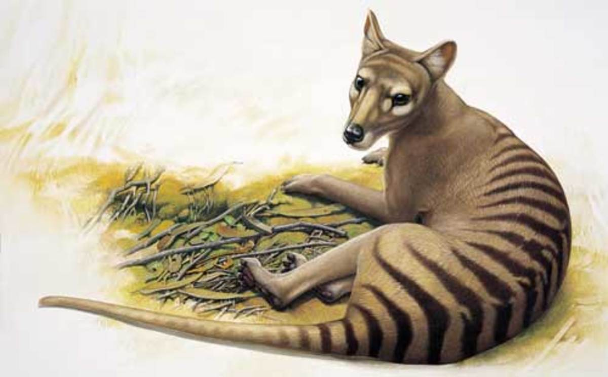 Could the Tasmanian Tiger be brought back from extinction?