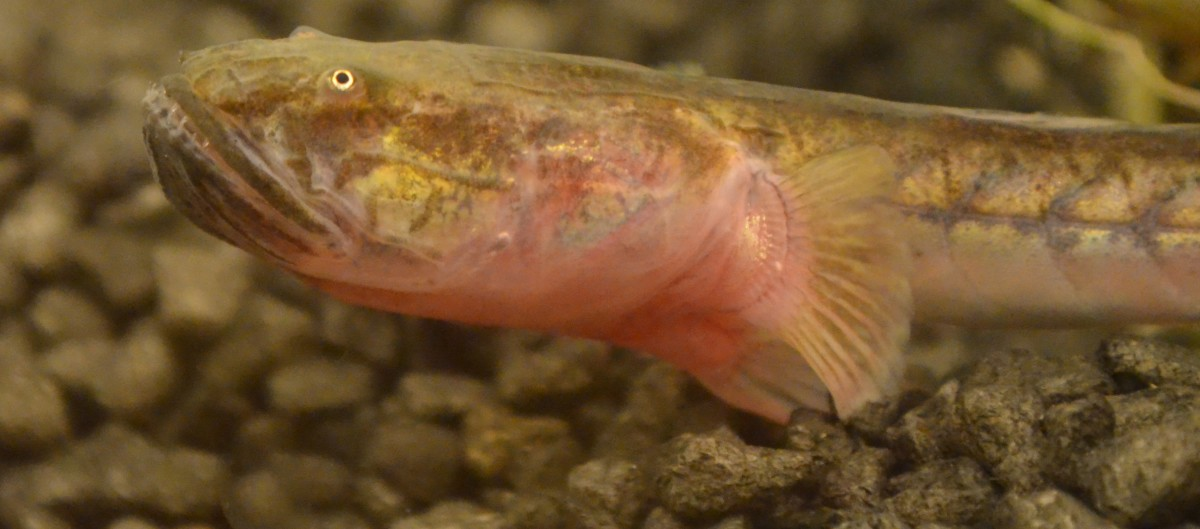 The Violet Goby