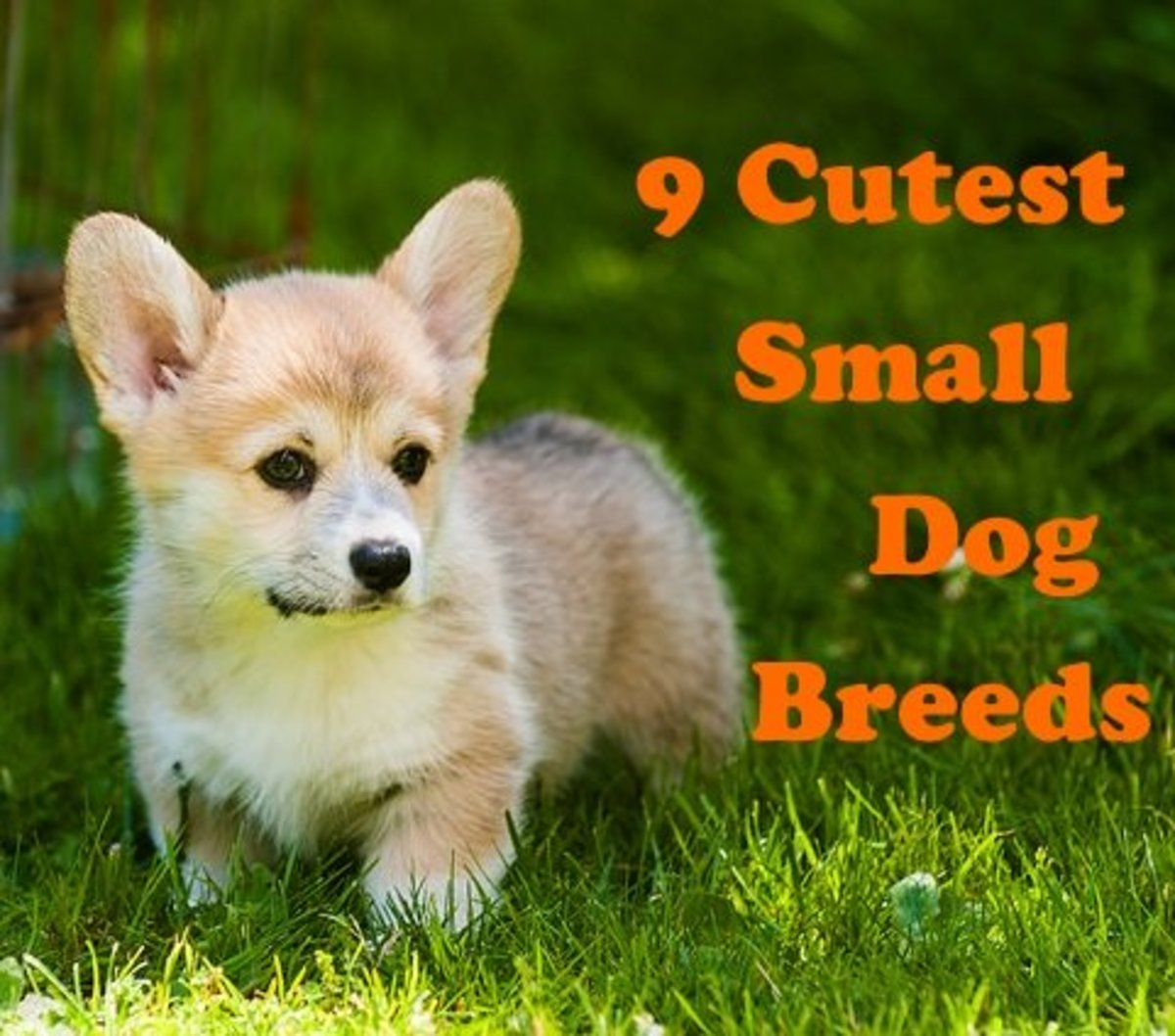 Corgis are one of the cutest small dog breeds.