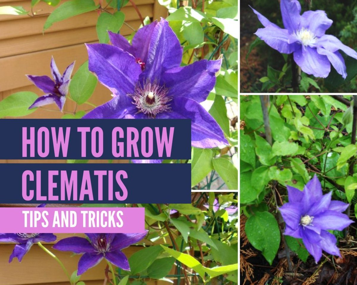 Clematis Plants and How to Grow Them Successfully