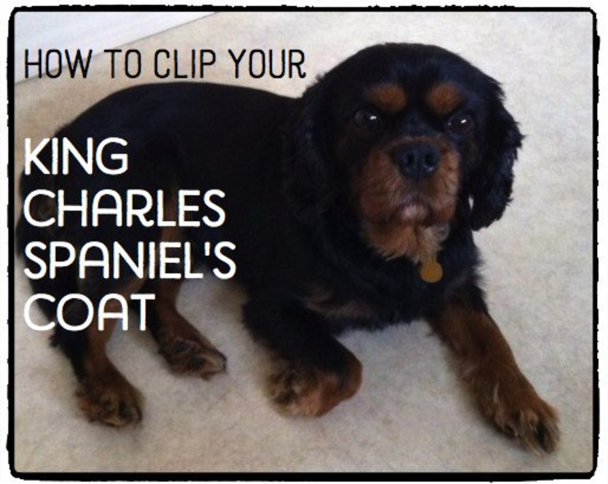 How to Clip a King Charles Spaniel