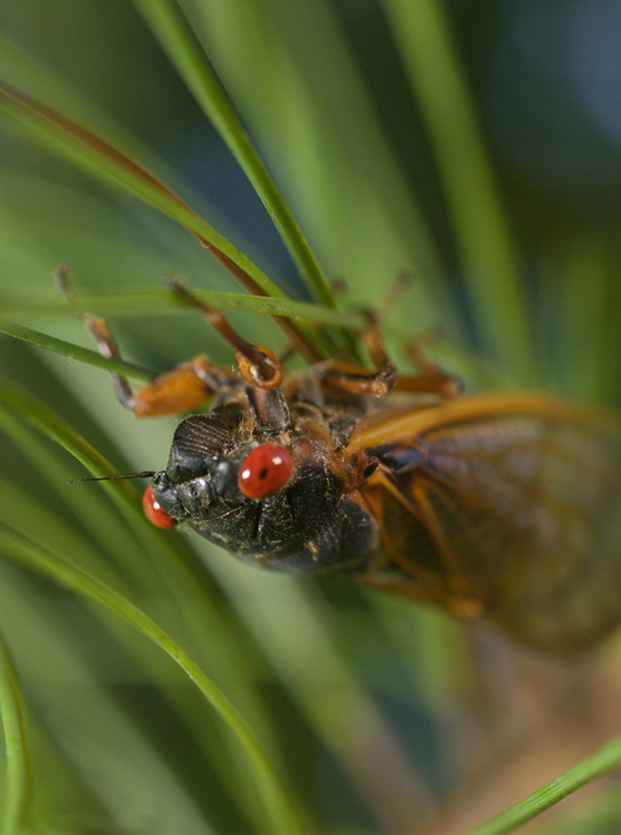 Picture of a red-eyed Cicada