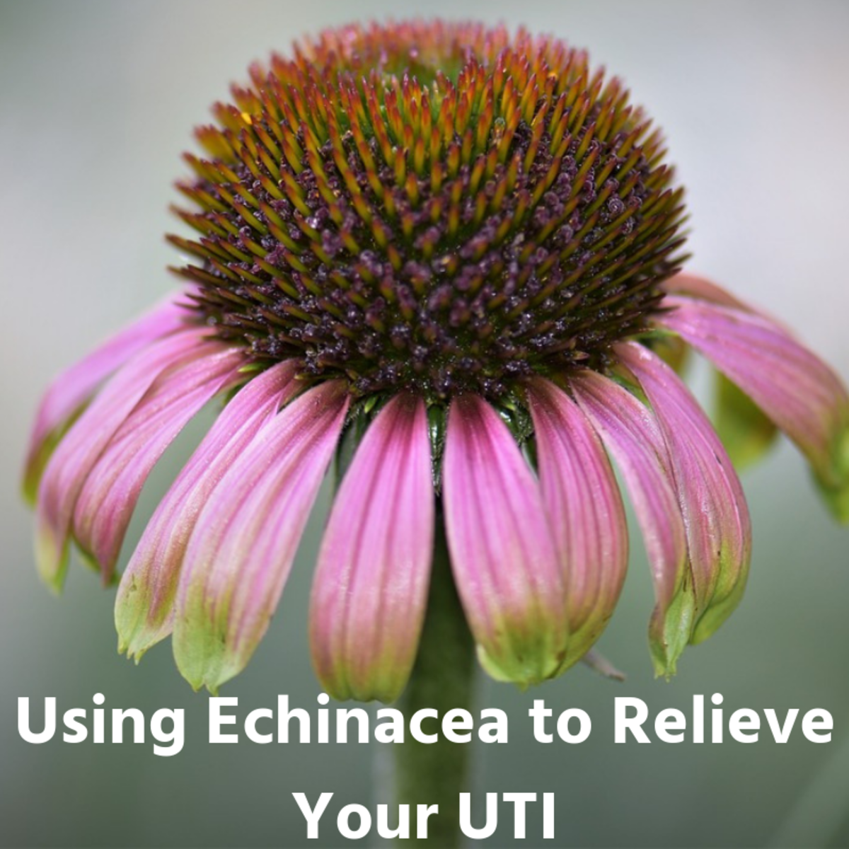 Echinacea can get rid of a UTI quickly and effectively.