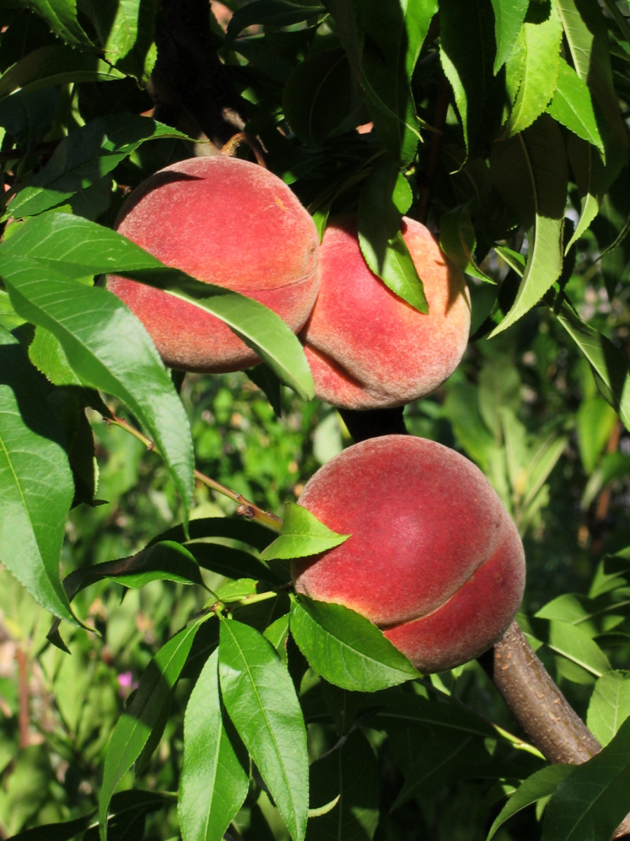 The fruit of the peach tree- doesn't it look delicious? You can learn how to grow a peach tree from seed too!