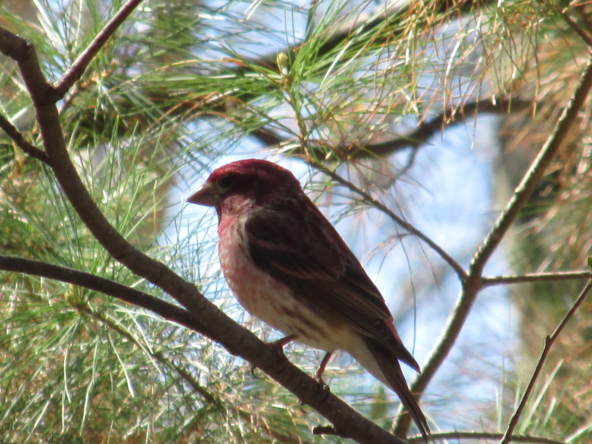 Male Purple Finch is one of my favorite birds; but then I love them all!