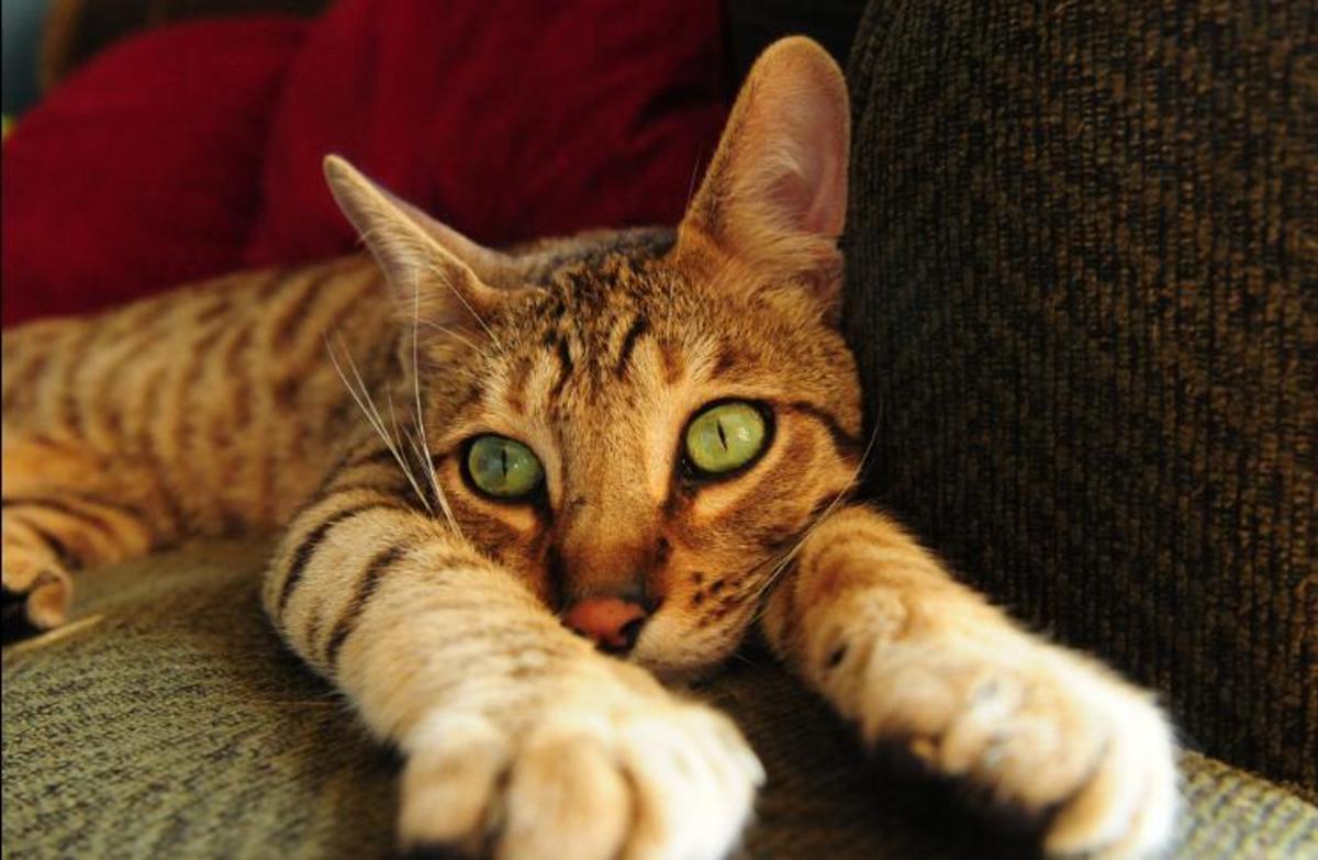 A savannah cat.