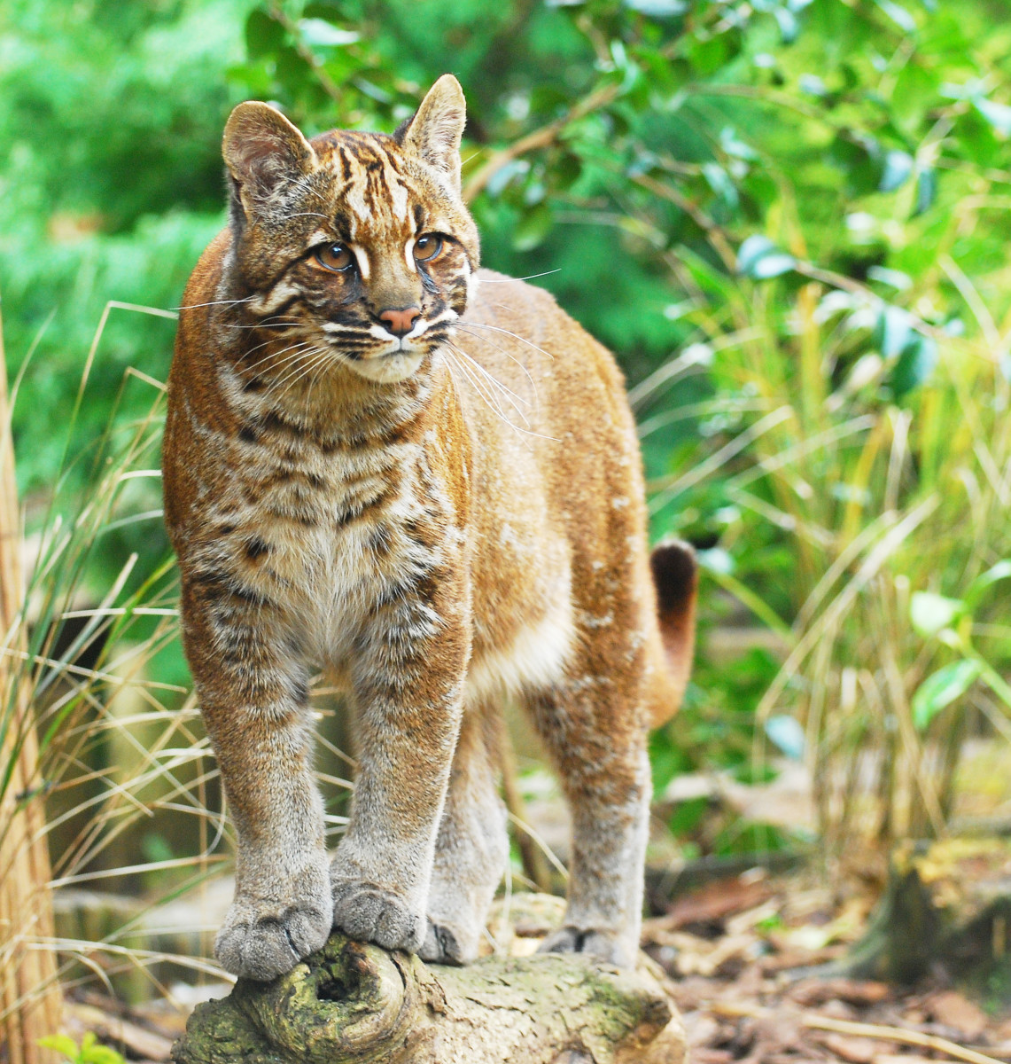 The Asian golden cat