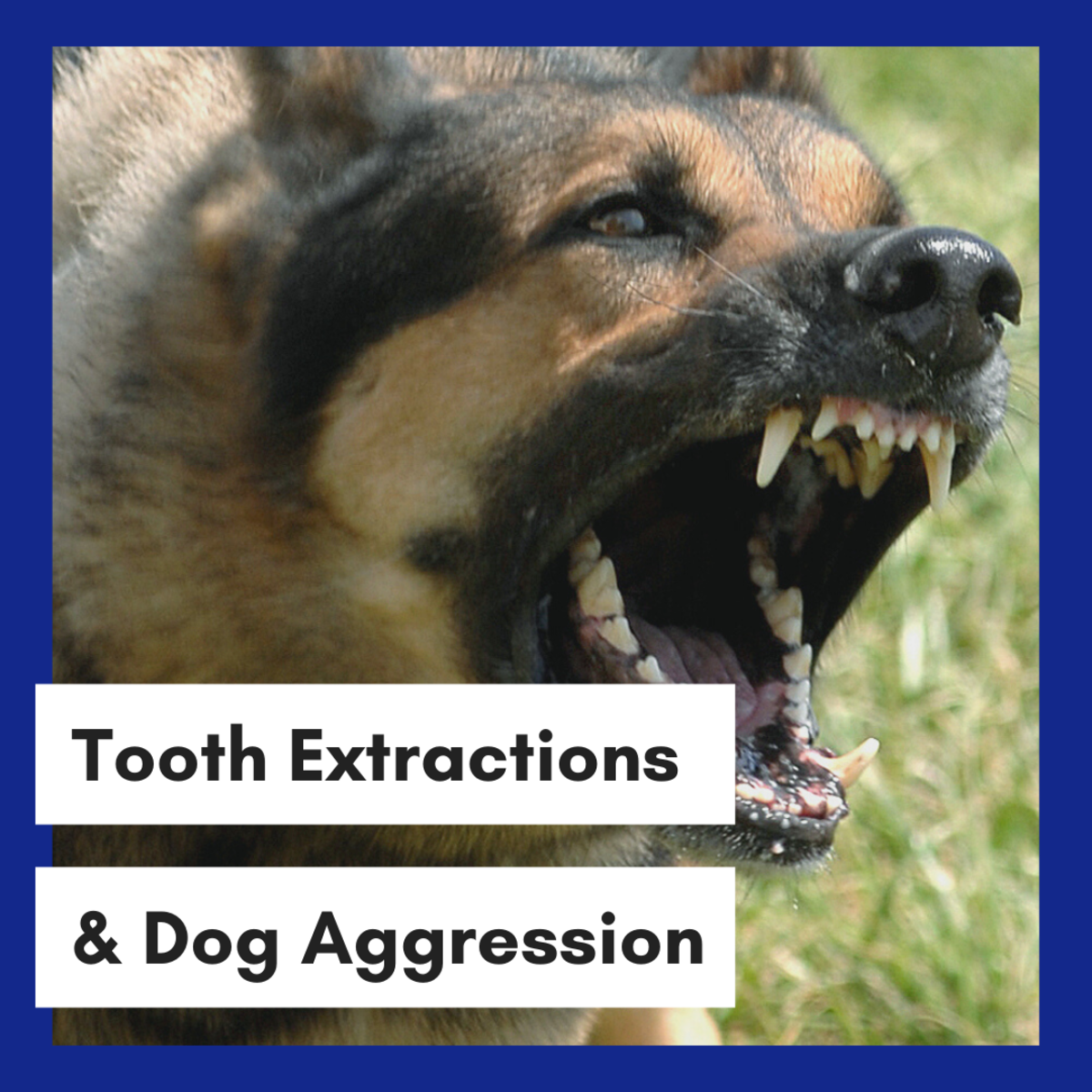 Removing Teeth In Aggressive Dogs