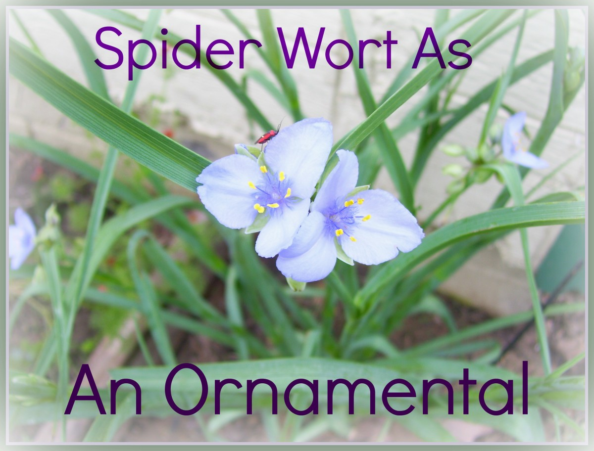 Using Common Spiderwort As An Ornamental Garden Plant
