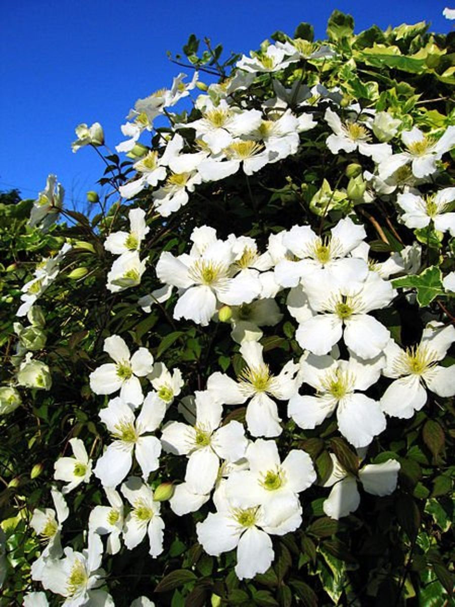 How to Plant and Grow Clematis Vines