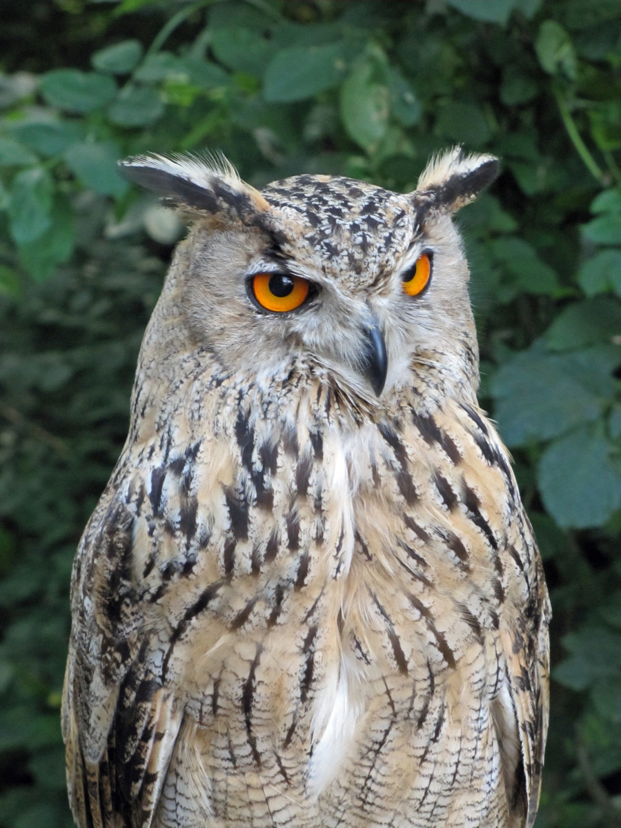 The Eurasian Eagle Owl