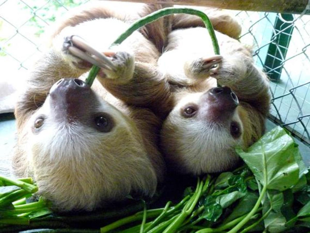 A Guide to Pet Sloth Care