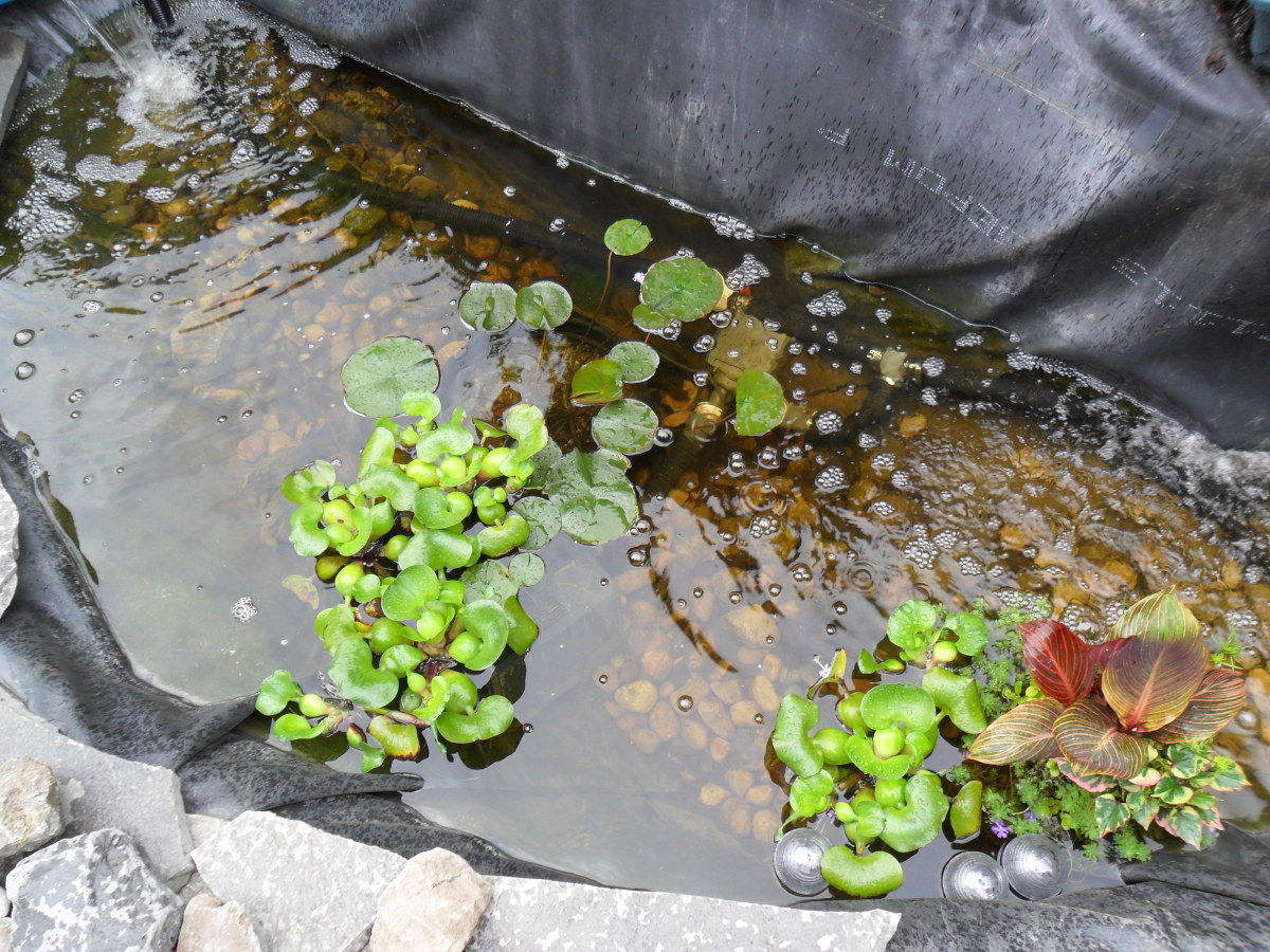 How to clear green pond water dengarden for Green water in pond