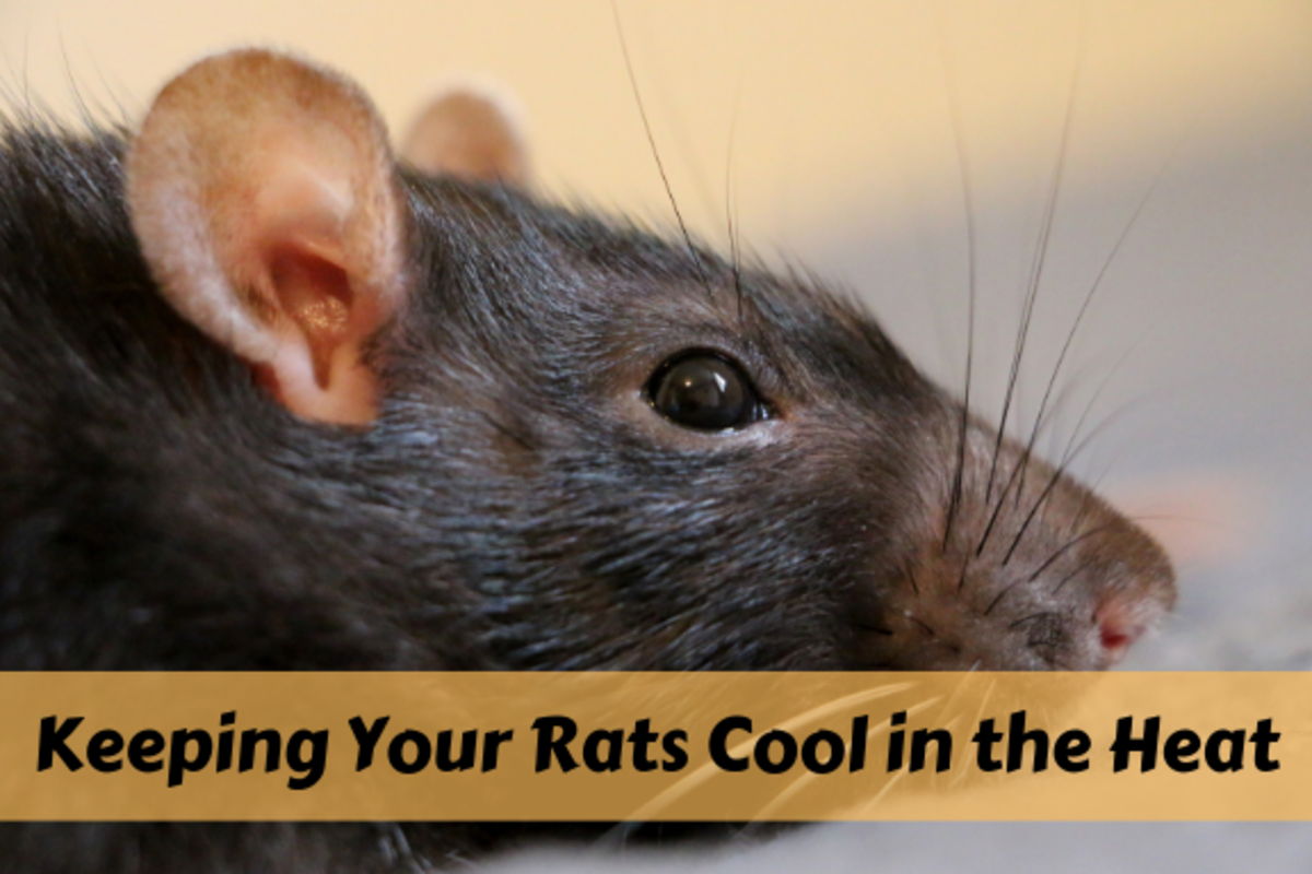 Learn how to identify if your rats are too hot and how to keep them cool and happy in the summer.