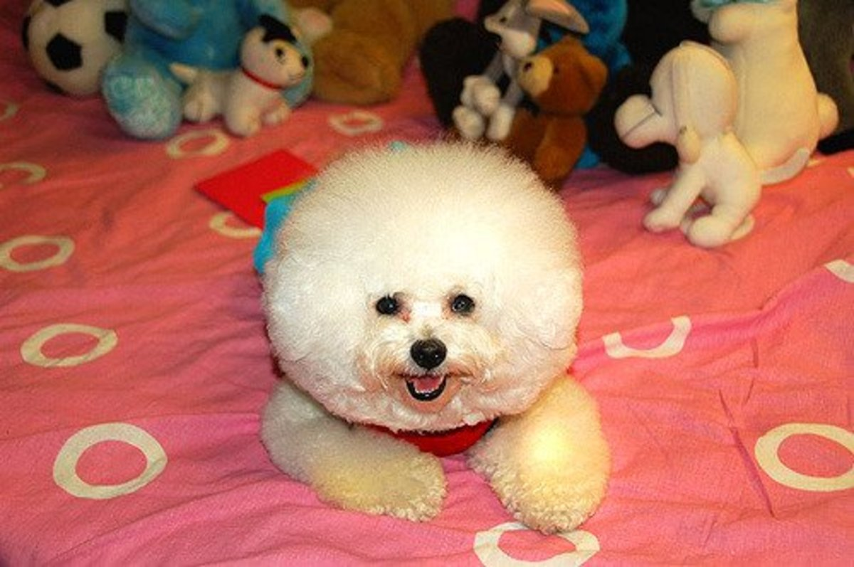 Some dogs, like this Bichon, are very fluffy.